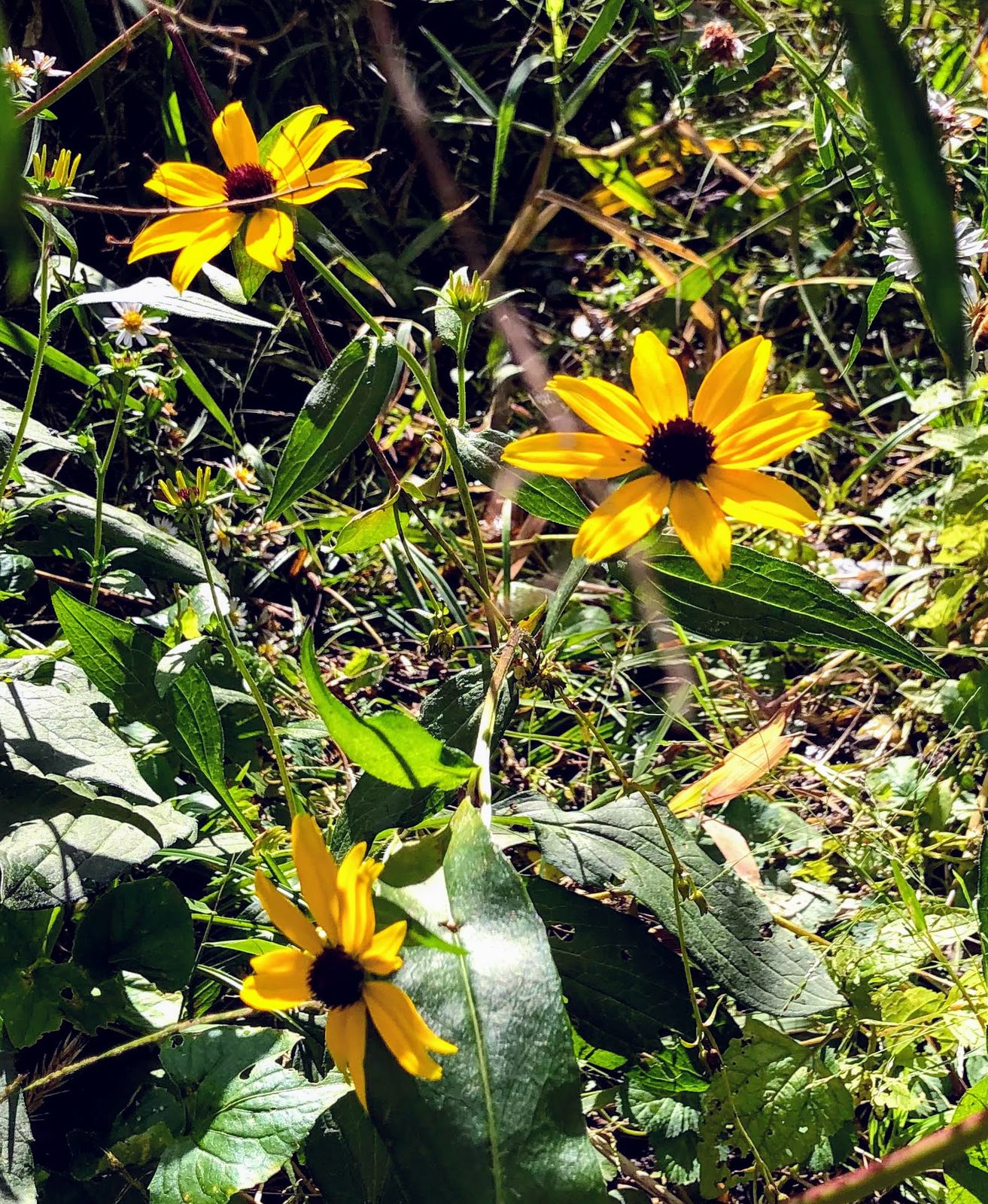 Brown eyed-susans