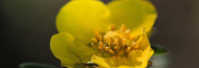 Fleurs de Potentille..