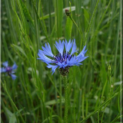 Centaurea cyanus ou  Bleuet des champs...