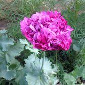 Les pavots doubles de Maryline du Finistère - Jardins Merveilleux