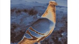 Coeur de pigeon (Livre voyageur)