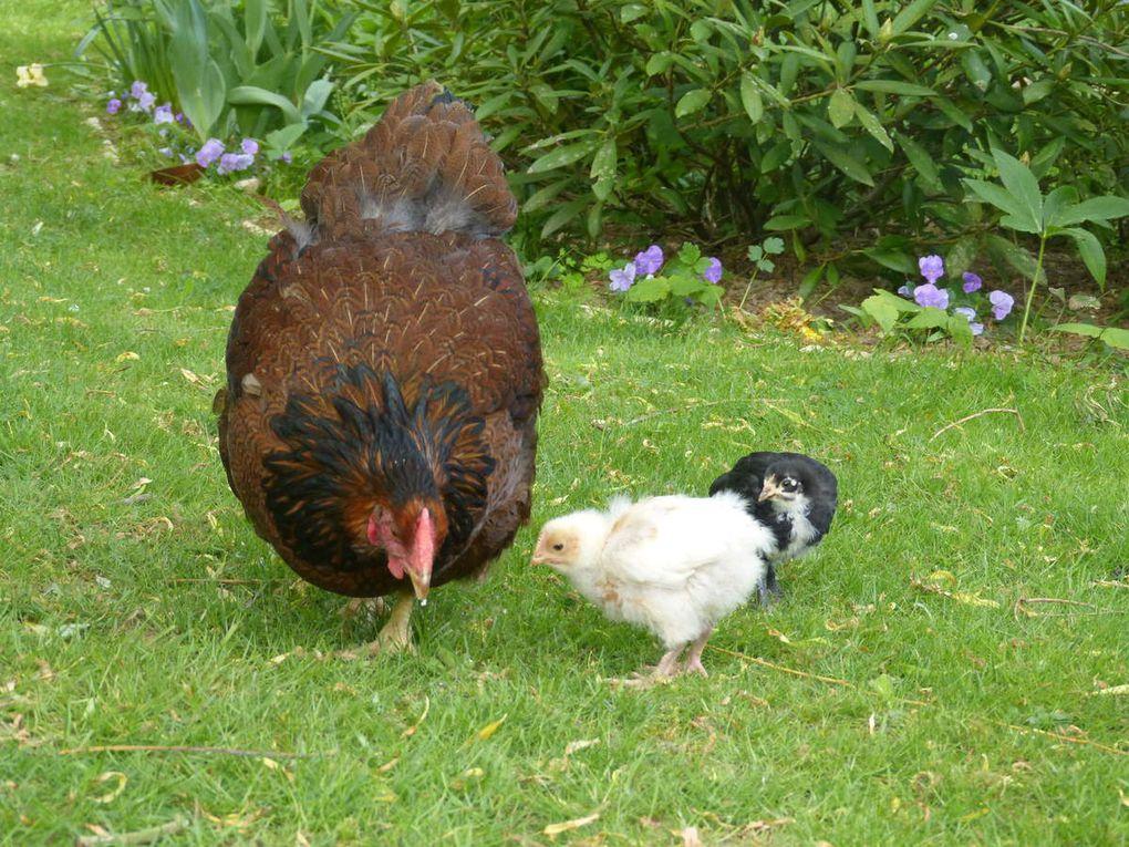 La couveuse est une poule wyandotte, la couvée compte 2 poussins, un croisé et un Marans pure race