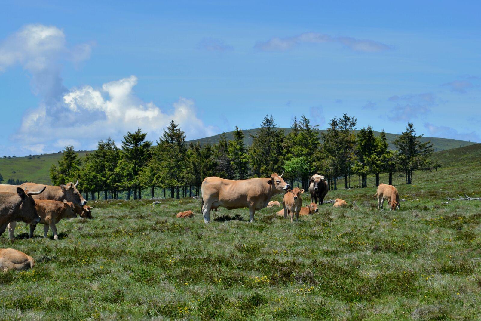 Petite balade dans les Hautes-Chaumes, les Highlands de la Loire!