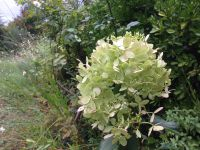 Hydrangea paniculata 'Great star', 'Phantom' et 'Limelight'