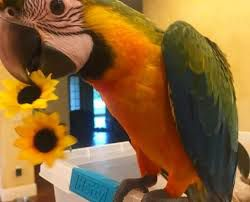 macaw for sale oregon  macaws for sale  exotic birds for sale in oregon  hyacinth macaw for sale oregon  macaw breeders oregon  exotic bird rescue of oregon  bird rescue bend, oregon  bird rescue eugene oregon