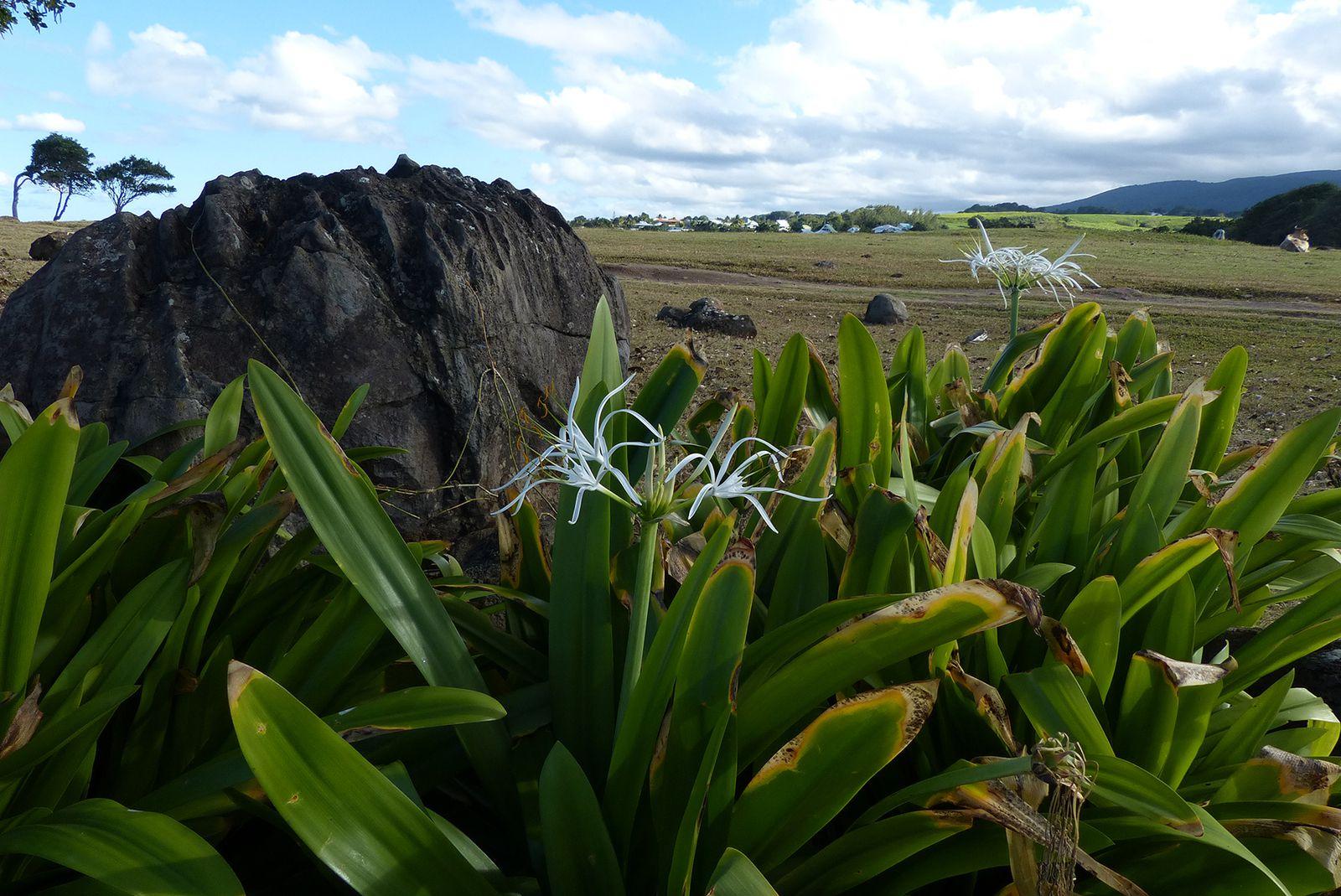 Hymenocallis caribaea (L.) Herb. au Nord de Basse-Terre en Guadeloupe