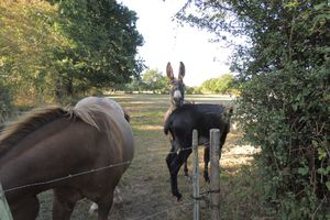 Comparaison âne / cheval : quels parasites et conséquences pour les vermifuges ?