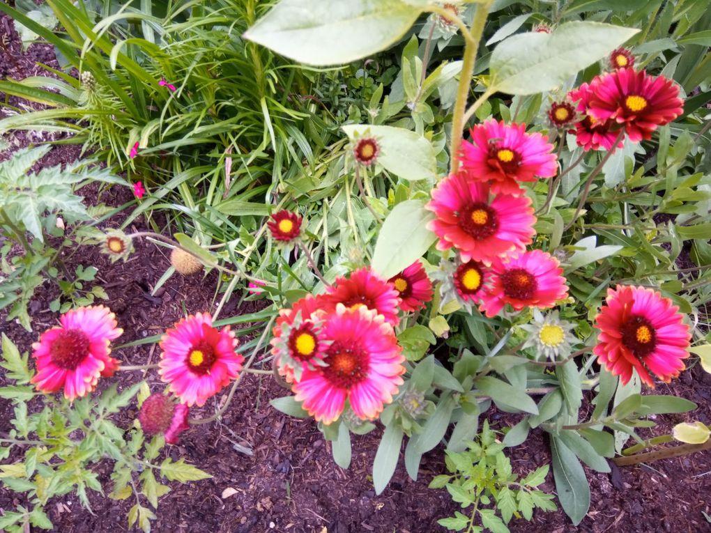 Fleurs de mon jardin... Suite... Suite...