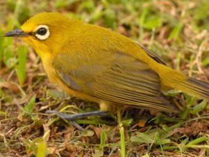 Drongo de Mayotte et Oiseau lunettes