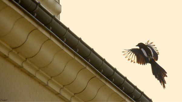 Oiseaux en majesté & majesté des oiseaux