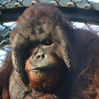 Jardin des Plantes de Paris : Joey, le nouvel orang-outang