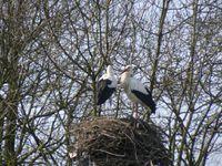 Cigognes blanches prises au Marquenterre, à Brouage et au parc des oiseaux
