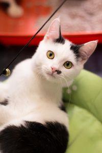 Mushu, chaton mâle noir et blanc, à l'adoption -> adopté