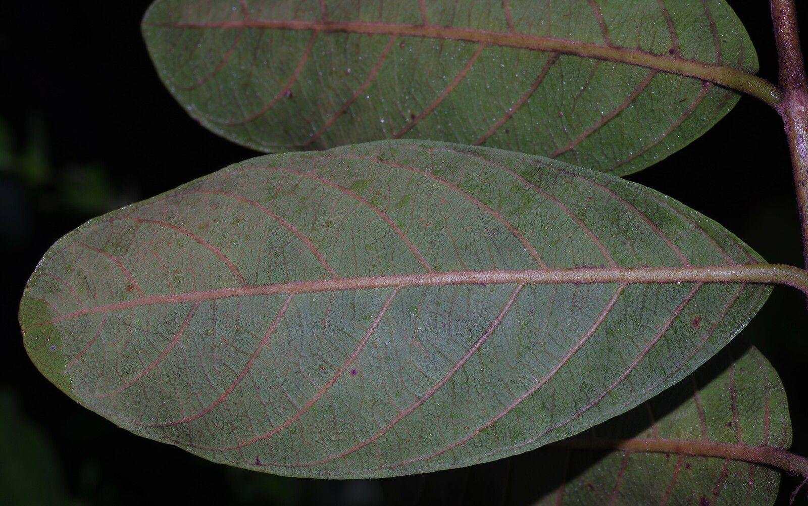 Psidium guyanense