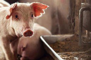 Rebaptisées PAT, les farines animales vont faire leur retour dans les élevages Les protéines animales transformées (PAT) devraient être autorisées pour l'alimentation animale en Europe d'ici fin 2021.  Rédigé par Anton Kunin, le 31 May 2021, à 10 h 49 min