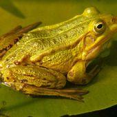 Petite grenouille verte - Wikipédia