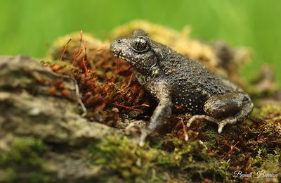 Crapaud alyte (Somme)