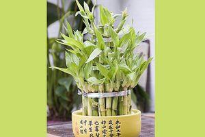 Le Lucky Bambou