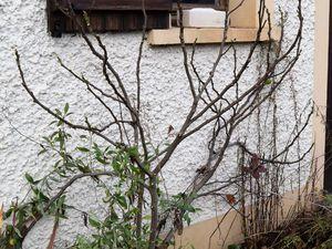 """Avant-après : je me suis contentée de couper les branches qui s'éloignent de la façade. J'ai aussi enlevé les figues de """"seconde génération"""" qui ne mûriront plus et dont la présence pourrait inhiber les formation des figues """"fleurs"""" au printemps."""
