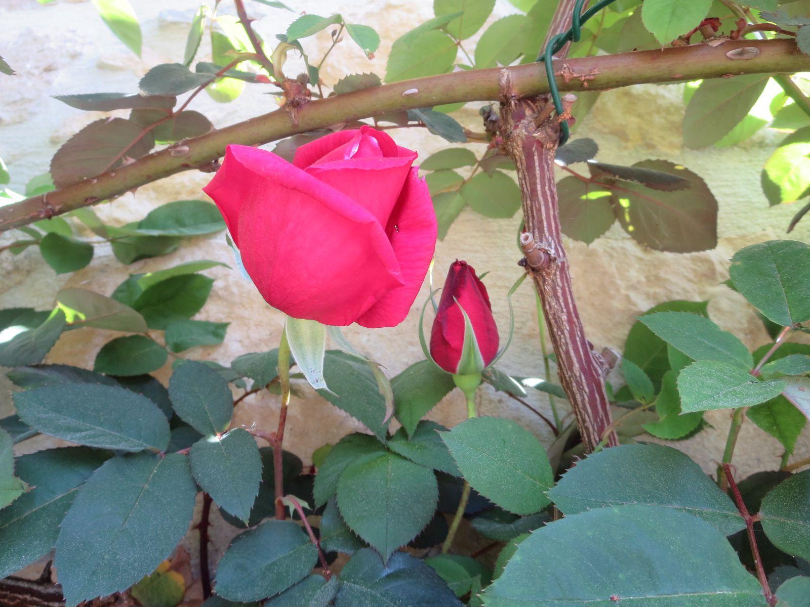 Premières roses: dès fin mars, celle de ma terrasse , la jaune, la plus hâtive...une de mes préférées! le buisson de Rugosa commence sa floraison et aujourd'hui rien que pour moi, Papa Meilland  m'offre le parfum formidable de sa première rose pour ce 13 avril, ((( jour festif bien à moi )))
