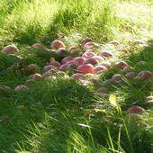L'autocueillette de pommes, une tradition au Québec - Québec : mode d'emploi