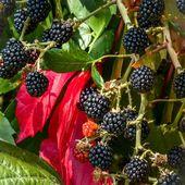 La mûre sauvage (Rubus caesius L.)