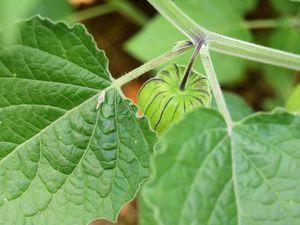 On reconnaît le physalis à ses feuilles duveteuses en forme de cœur.