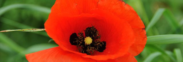 Gentil coquelicot - Poppy day