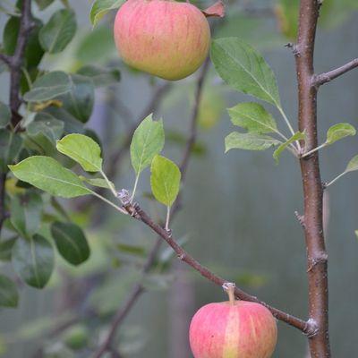 Planter et entretenir ses arbres fruitiers (achats groupés)