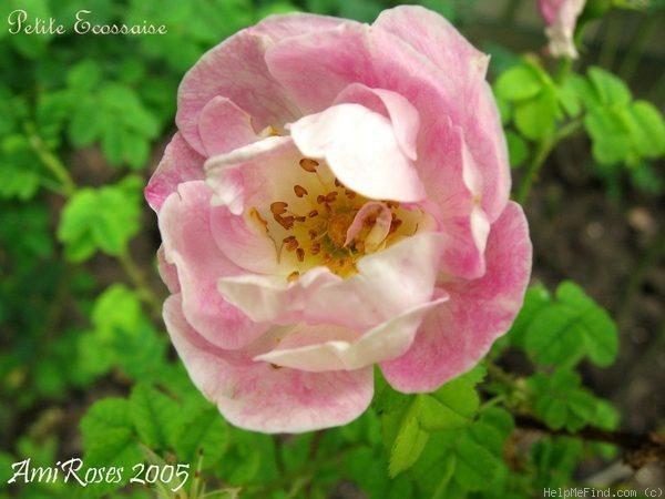 photo E. Bouret ( Ami Roses )