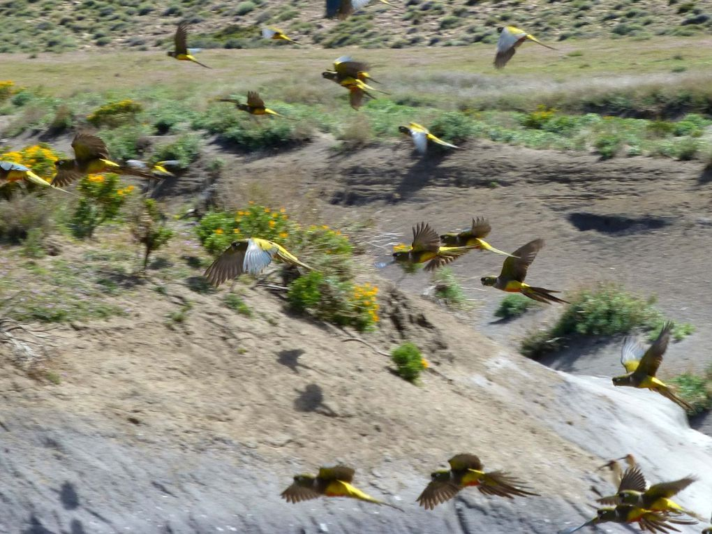 Conure de Patagonie Cyanoliseus de patagonus (Argentine)