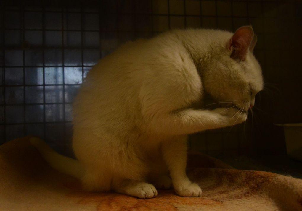 Elle est adoptée ! : ARIEL, magnifique chatte toute blanche, sourde