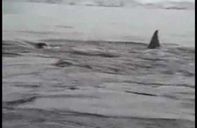 Orcas vs Linux-Maskottchen