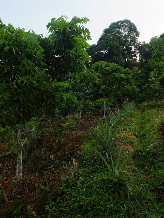 dans les deux premières photos, ananas, litchis et citrons verts cohabitent merveilleusement; puis viennent les papayes, les pomelos, les bananes et leur délicieuse fleur; les aubergines sont laissées aux pieds des manguiers; et enfin les oranges