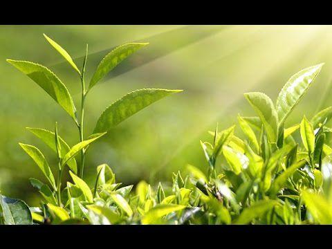 L'autodéfense et la communication des plantes