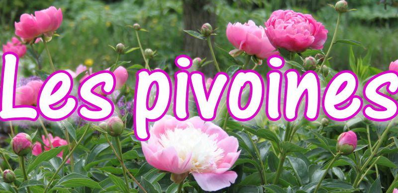 Les pivoines herbacées (Paeonia)