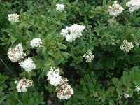 De gauche à droite en haut : Brunelle blanche ou laciniée (Prunella laciniata), Inule de montagne (Inula montana), Troene commun (ligustrum vulgare) et les très jolies fleurs de la Mélitte à feuilles de mélisse (Melittis melissophyllum)