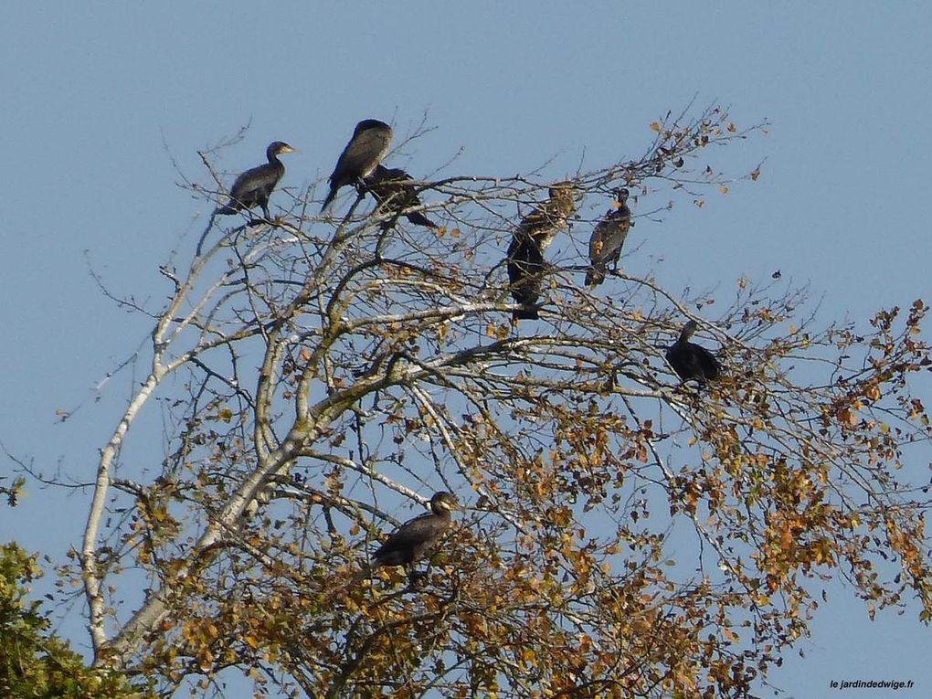 Grand Cormoran - Phalacrocorax carbo