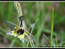 Ascalaphes, l'intermédiaire entre papillon et libellule ...