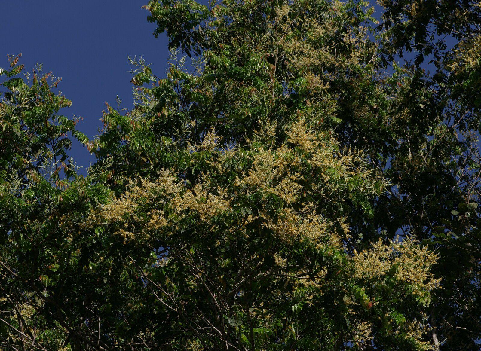 Tachigali melinonii