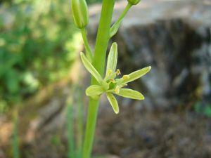 Certaines aspergettes commencent à fleurir