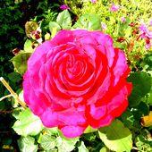 Jardin : Mignonne, allons voir si la rose éclose - Le blog de jm.rober.l.fr.over-blog.fr