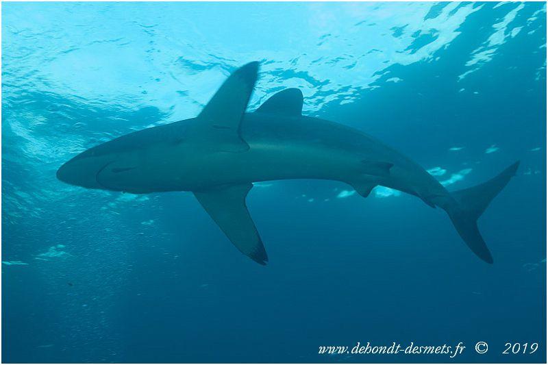 Les nageoires dorsales et pectorales sont caractéristiques et aident à distinguer le requin soyeux des espèces similaires.