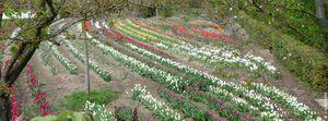 Un bouquet de tulipes contre le Cancer...au Pecq