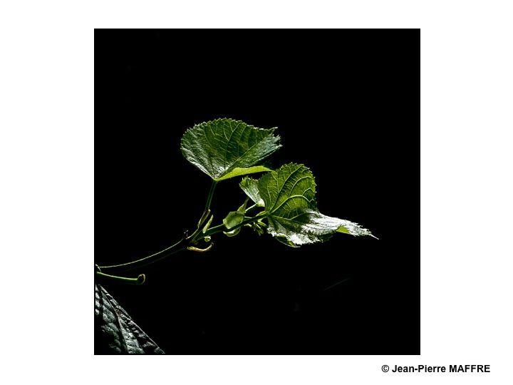 Du soleil, des feuilles vertes éclairées par de la lumière directe  ou en contre-jour magnifient les arbres lors d'une belle journée de printemps.