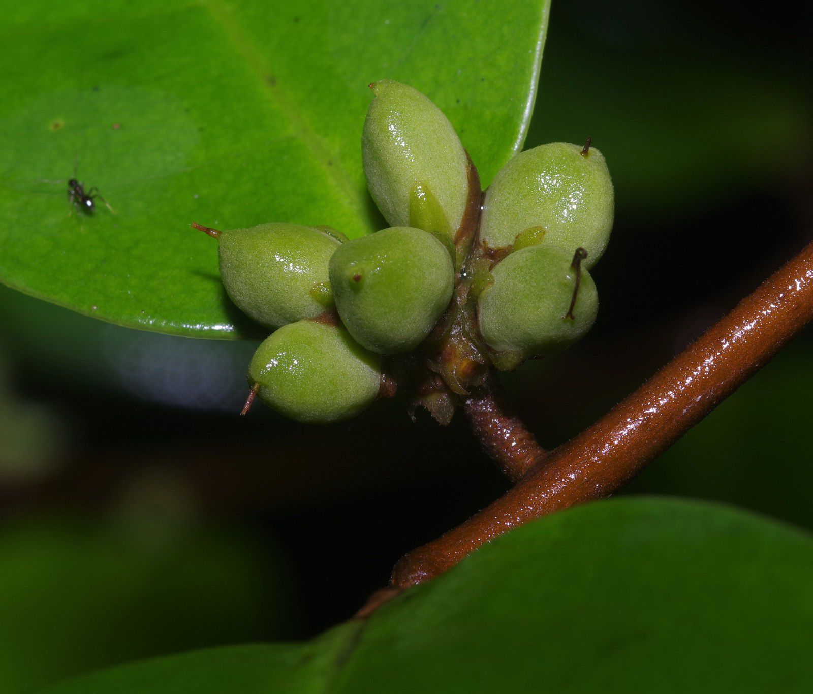 Tapura guianensis