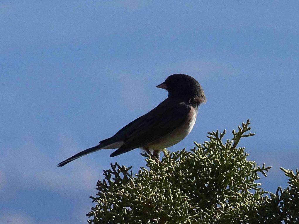 Oiseaux d'Amerique du Nord et Centrale