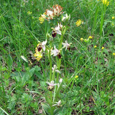 Bugey : Les orchidées sauvages de Belmont-Luthézieu