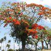 Les flamboyants à La Réunion