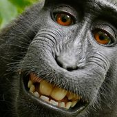 Who Owns a Monkey Selfie? Settlement Should Leave Him Smiling